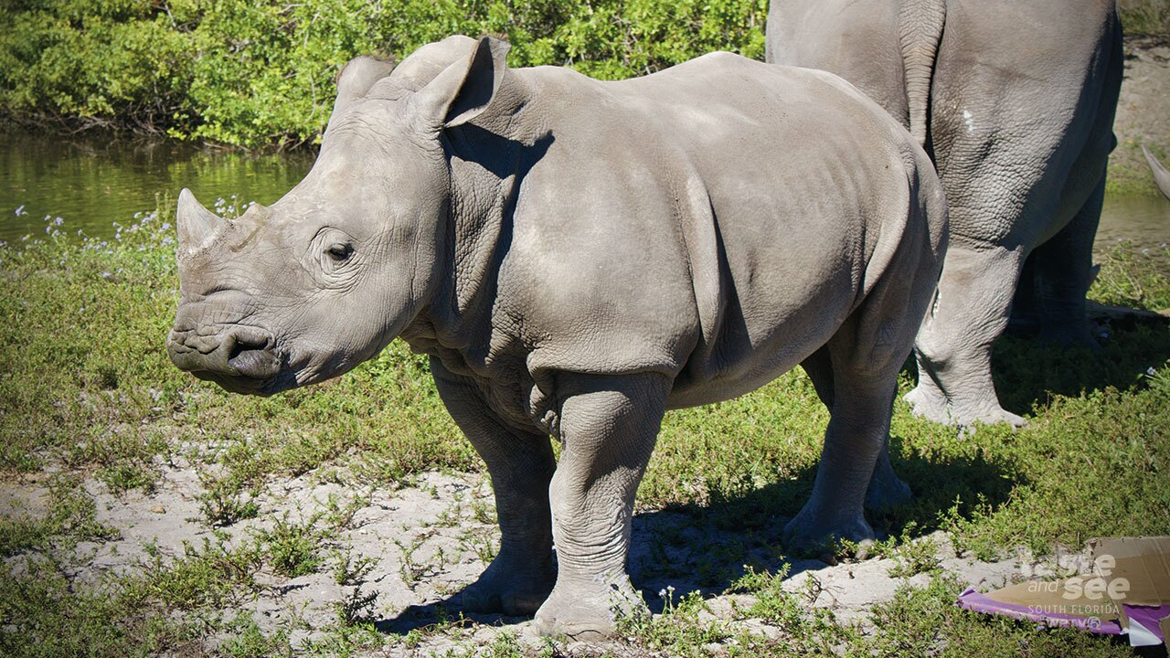 Today, Lion Country Safari, took WPTV NewsChannel 5 on safari to see Elna's pre-party.  The rare Southern white rhino will turn one on Saturday.