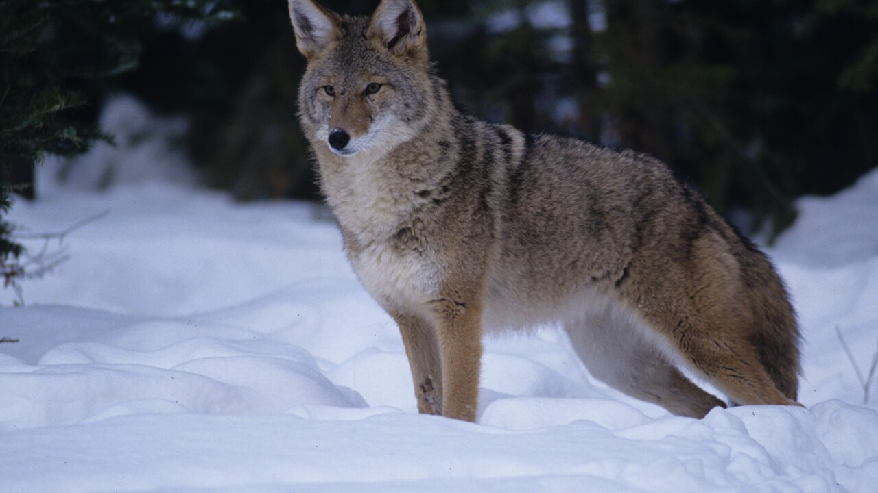 Coyote picture
