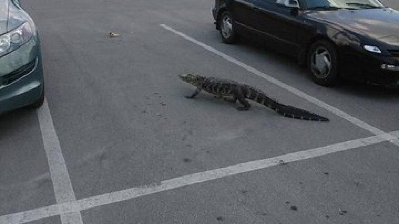 Deputies Drag Alligator Through Furniture Store In Holiday