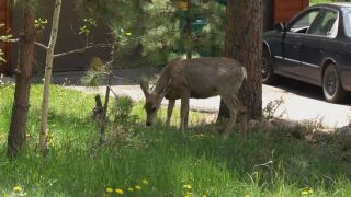 Deer in Colorado Springs