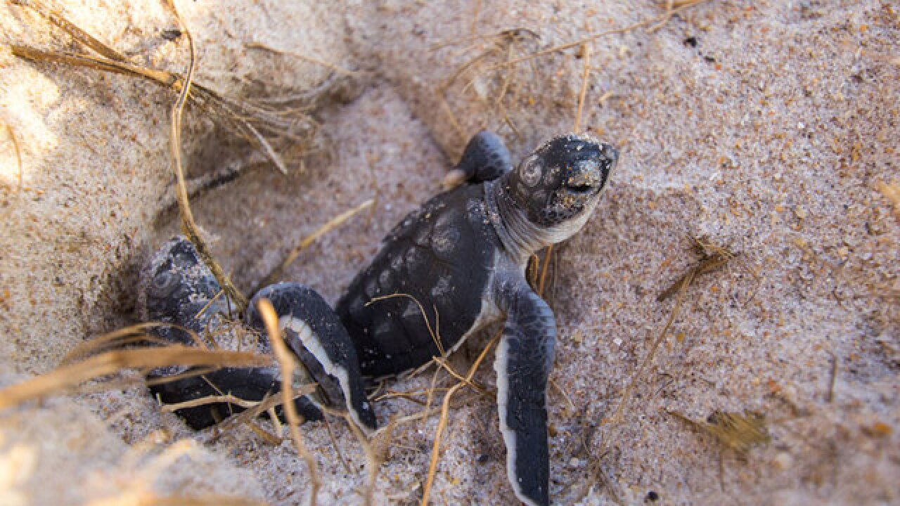 Sea turtle nesting season begins