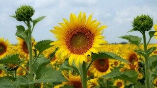 Looking for something to do this weekend? Sunflowers of Sanborn reopens this Saturday