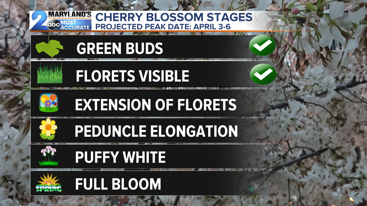 WMAR_CHERRY BLOSSOM STAGES.png