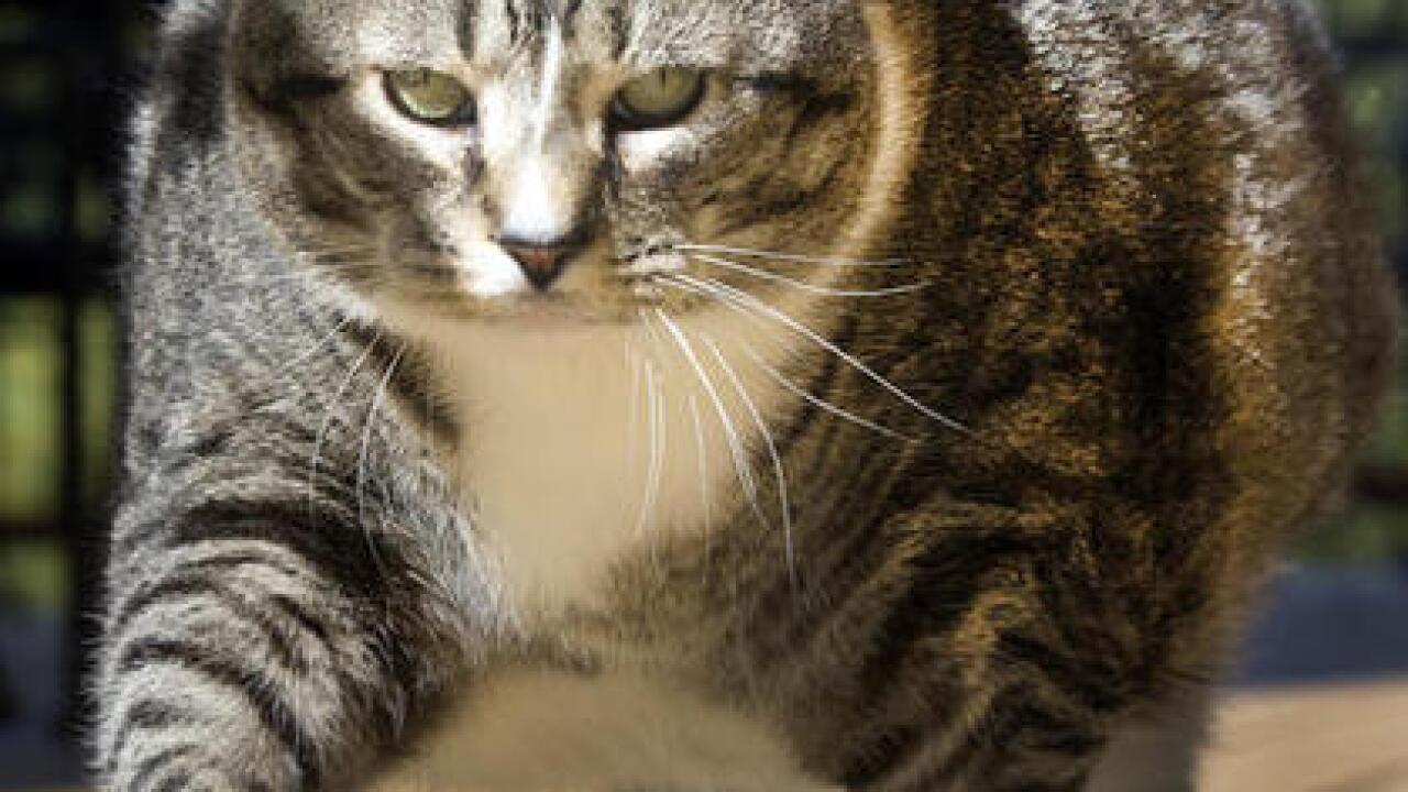 Logan the fat cat becomes an internet sensation