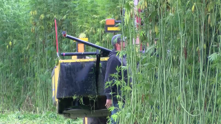 Harvesting hemp in Chouteau County