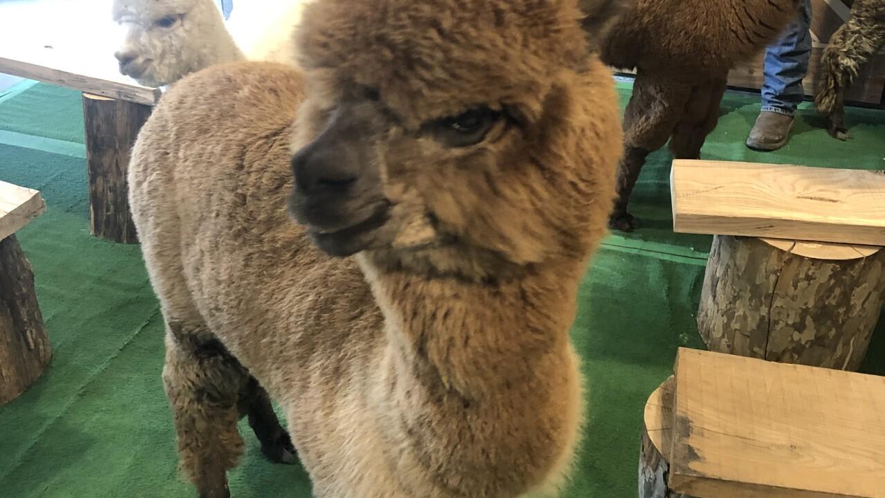 yayas alpaca farm