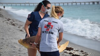 'Eau-lympia,' fully recovered, is released from Loggerhead Marlinelife Center.