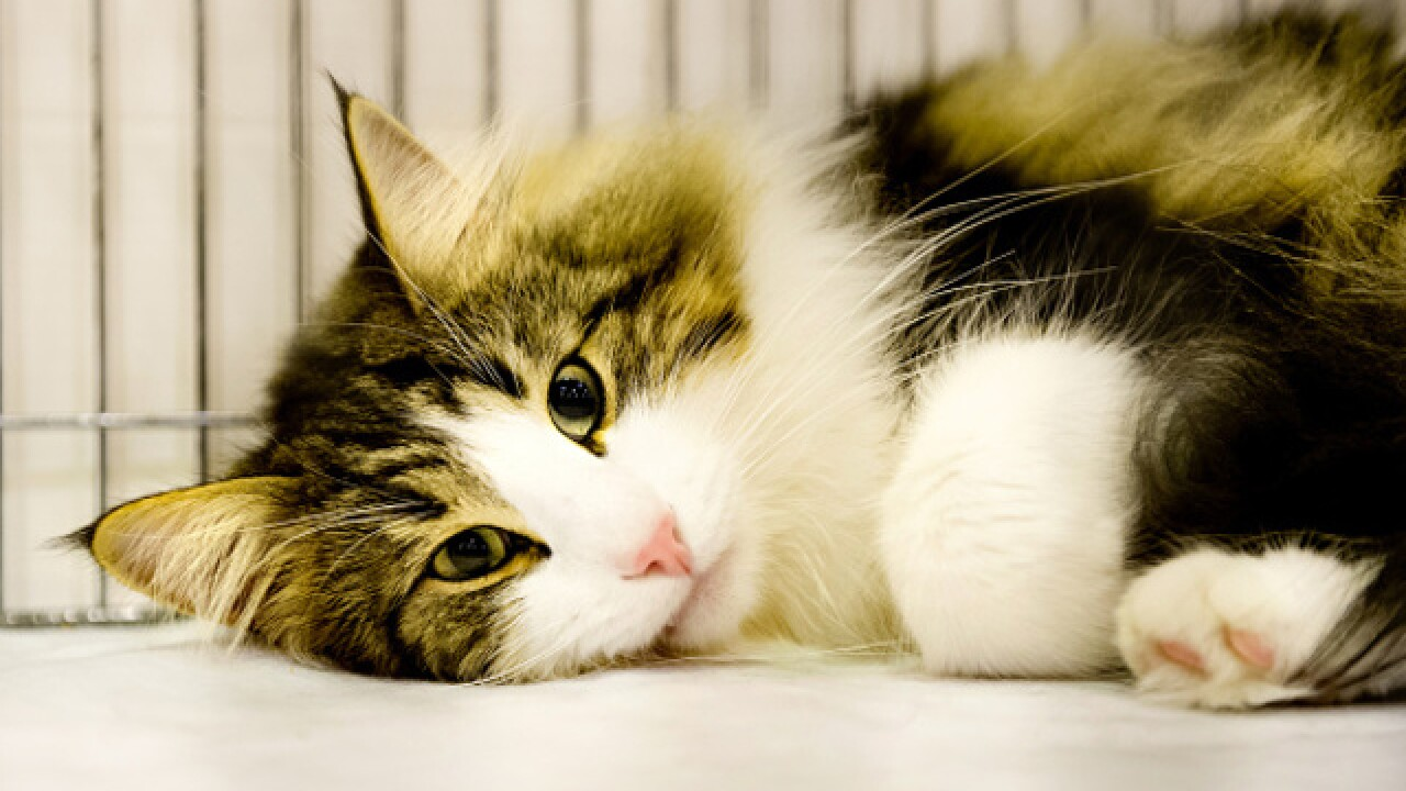 Cat adoption fees waived in July