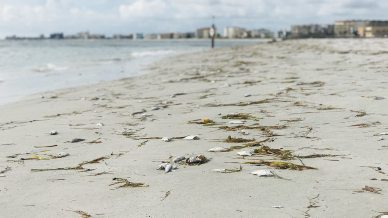 Red tide, Pinellas County 2018.