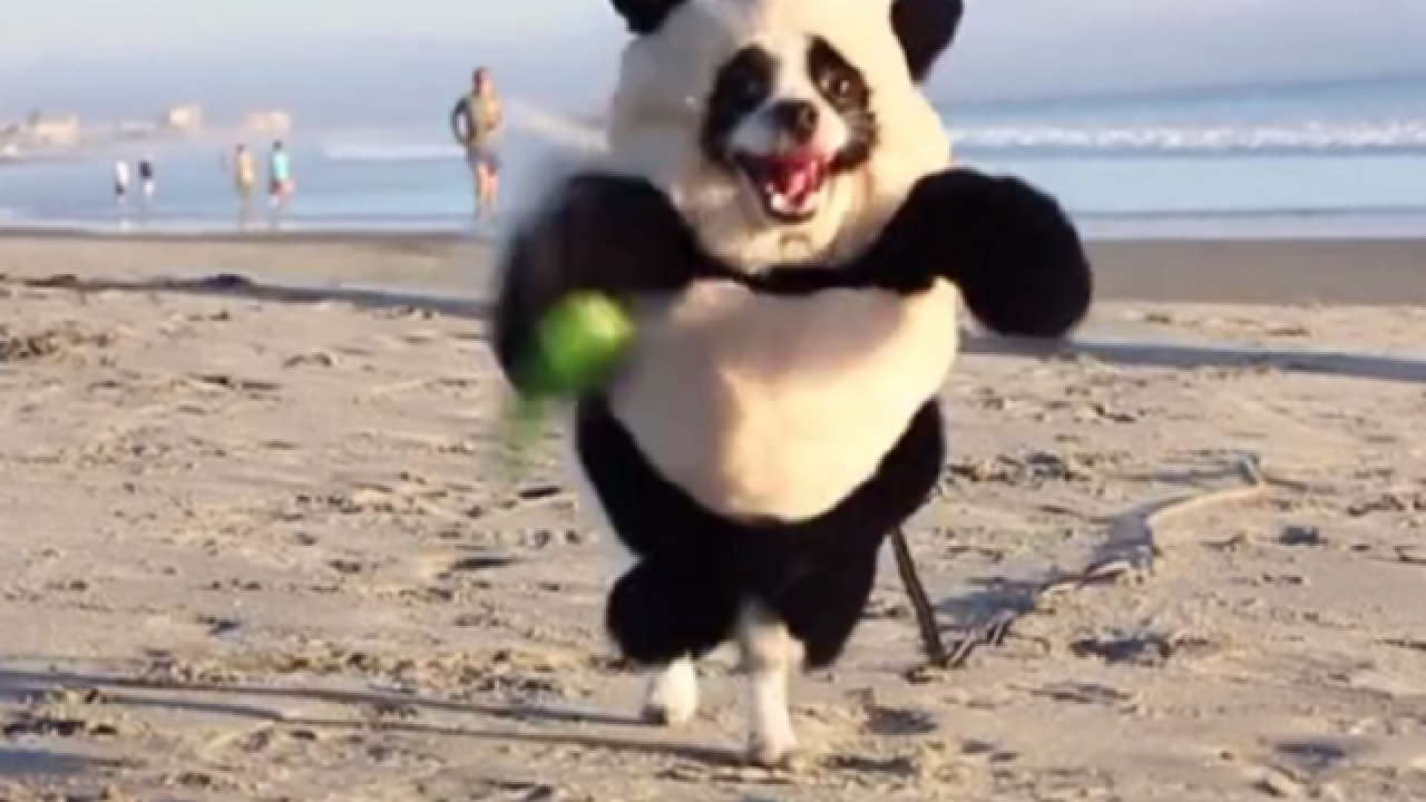 WATCH: Adorable 'panda' sighting at California beach