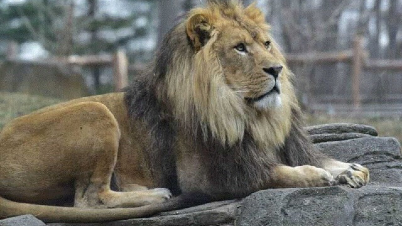 Zoo Boise welcomes male African lion