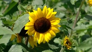 SUNFLOWER PIC.jpg