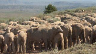Montana Ag Network: New regulation improves scrapie eradication program