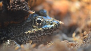 Endangered Detroit Zoo-born dusky gopher frogs released into wild
