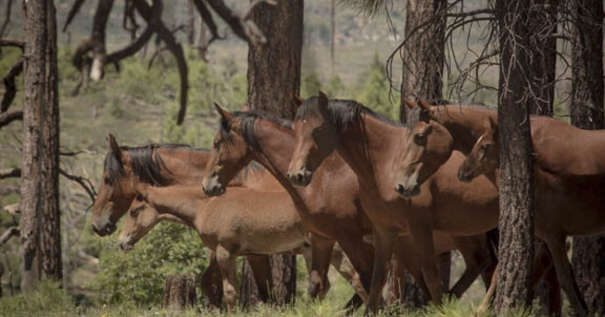 Authorities: Four more wild horses found dead near Heber