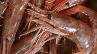 Maine Shrimp