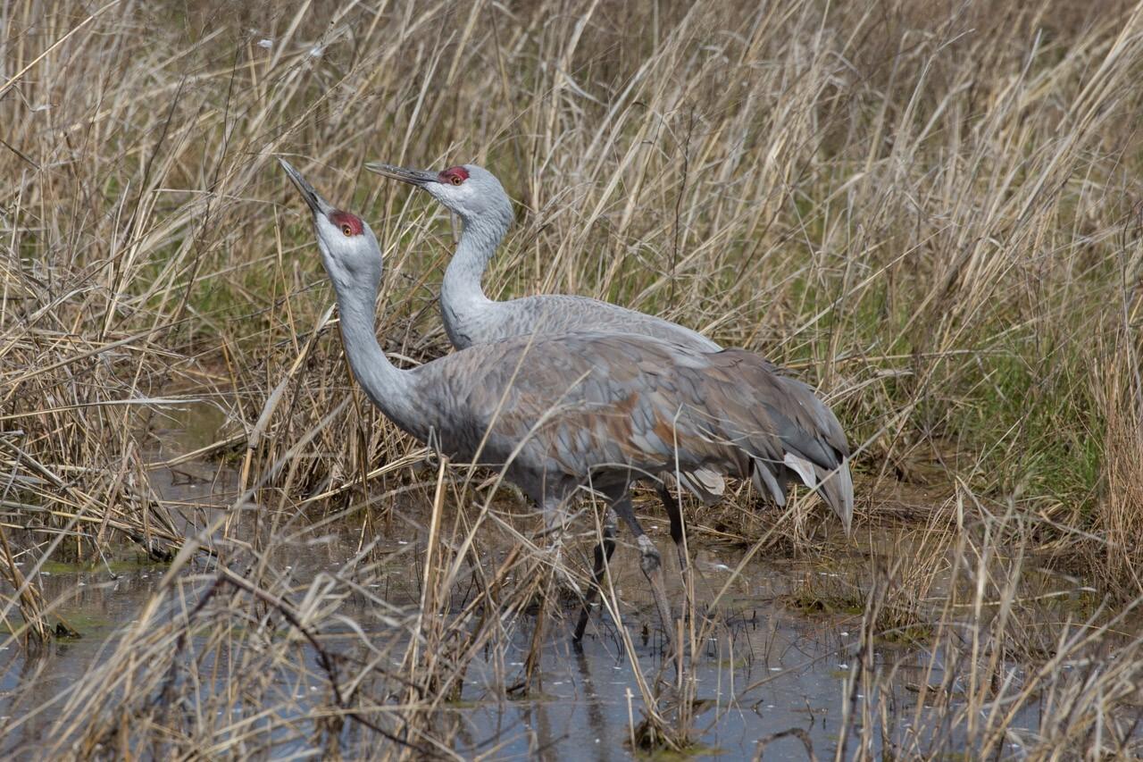 Sandhill Cranes courtesy Homer Hansen
