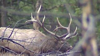 This Week in Fish and Wildlife: Elk hunting season rules