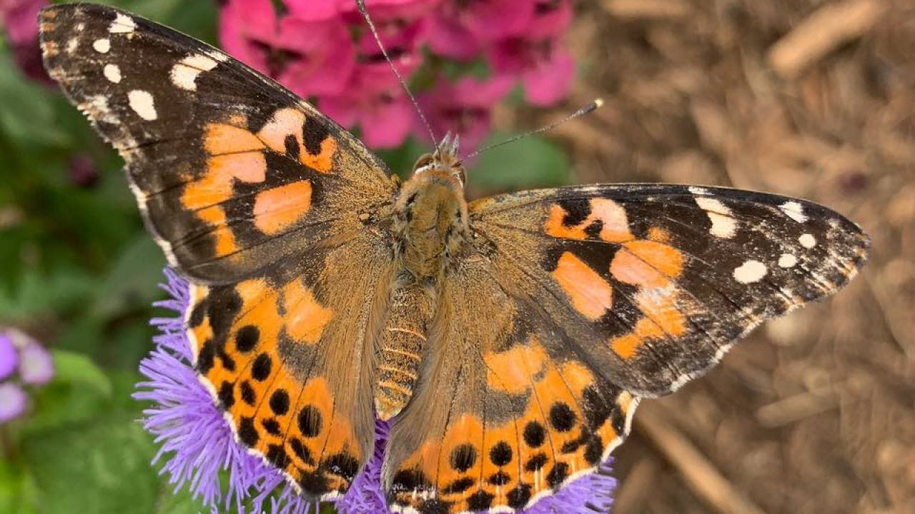 California's super bloom attracts swarms of migrating butterflies