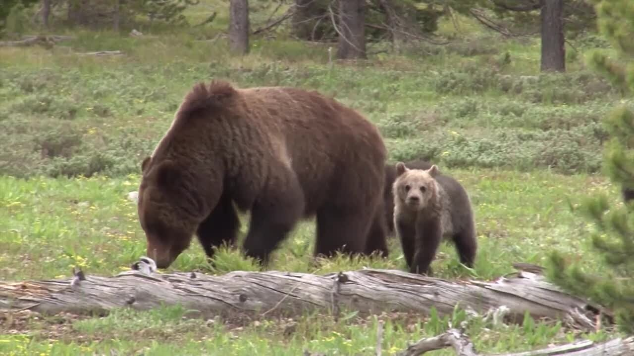 Grizzly bears recommended to remain protected in lower-48