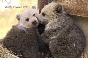 Grizzly bear cubs at the Montana Wildlife Center