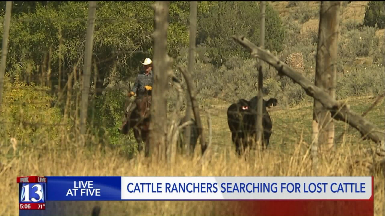 Burned over, now cattle ranchers are looking for theircows