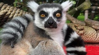San Francisco Zoo's Stolen Lemur Was Found By 5-year-old Boy