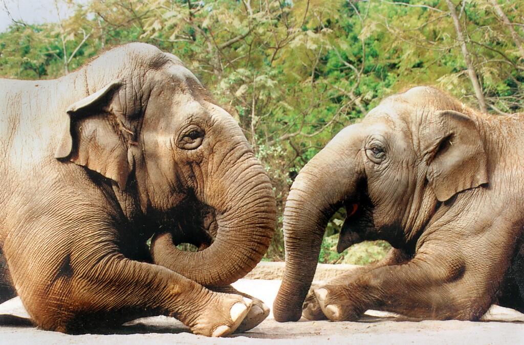 SB Zoo Sujatha at left 1990s.jpg