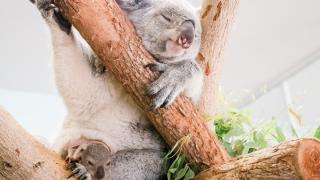 koala-joey.png