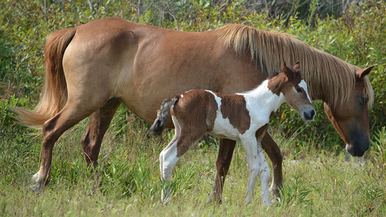 New foal born to Assateague Island band