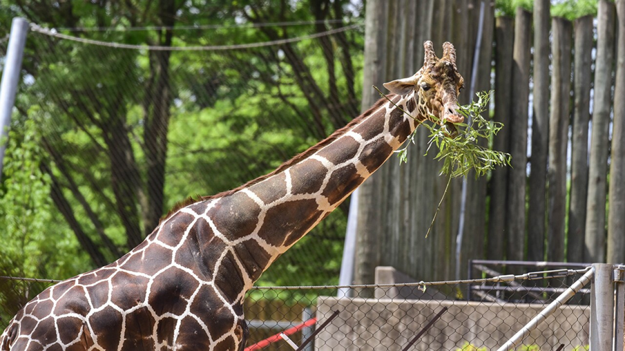 Caesar the giraffe at The Maryland Zoo (2).jpg