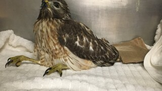 CROW hawk poisoned 12-6-19 1.jpg