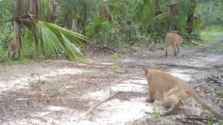 FWC asks public to help document disorder impacting panthers.png