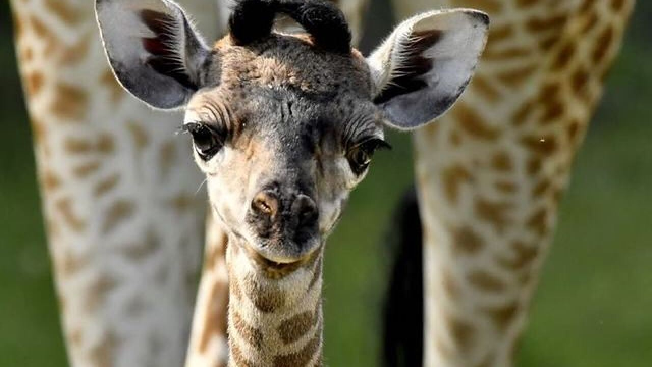 And the new baby giraffe is named...