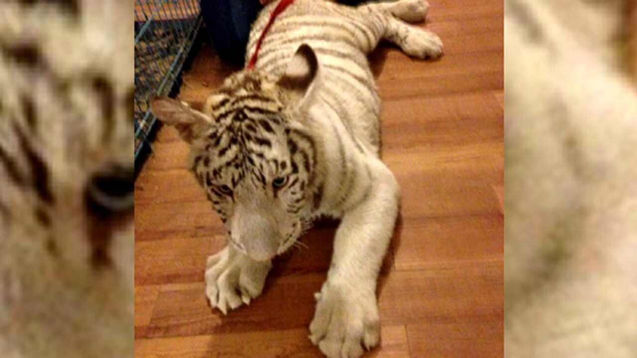 Woman arrested after tigers found in her home