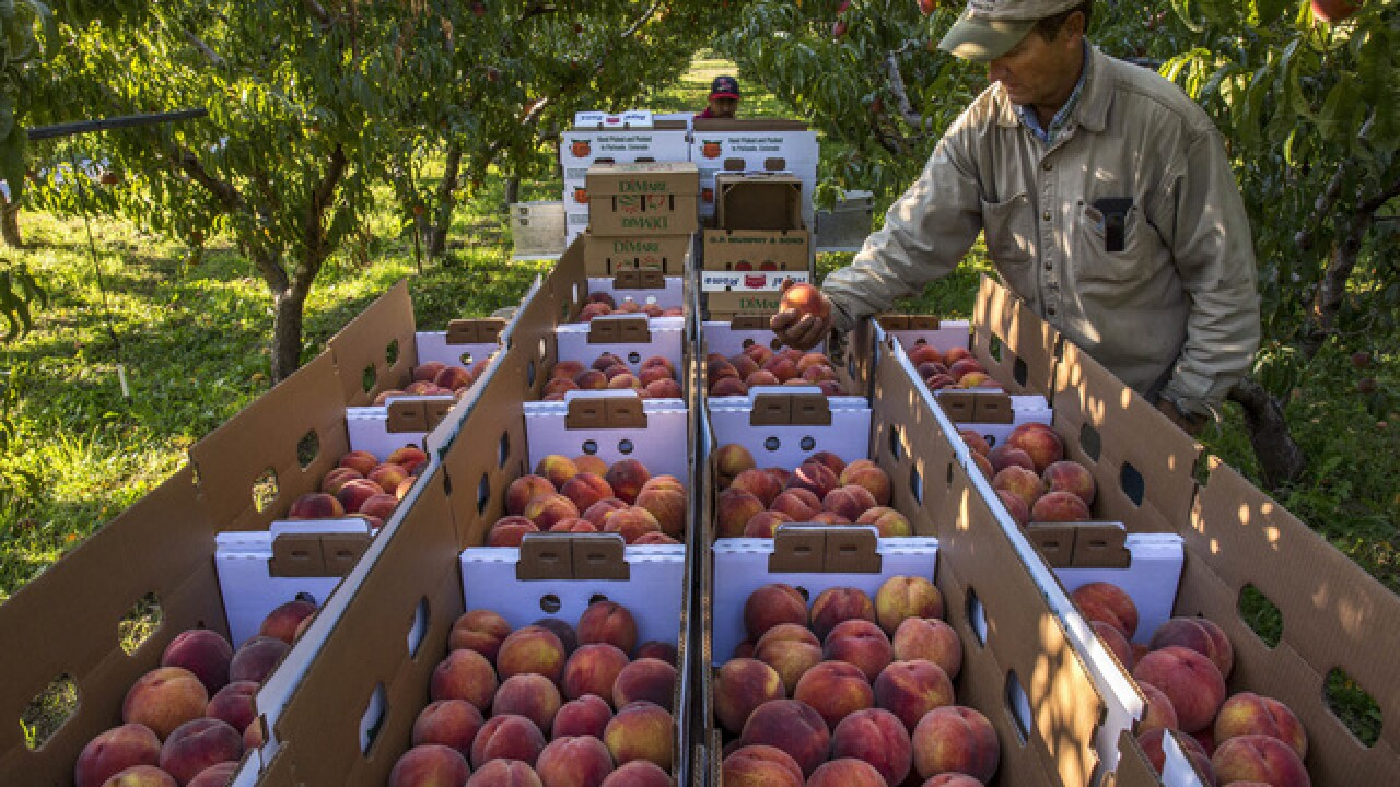 Celebrate Palisade peaches at 3 peach festivals in Colorado this weekend