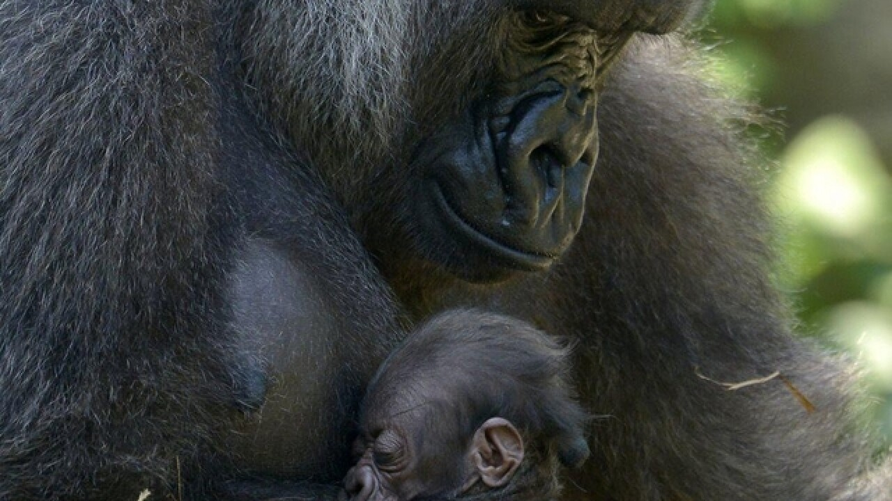 How a Gorilla World makeover will change the Zoo