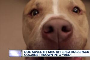 Dog saved by MHS after eating crack cocaine thrown into yard