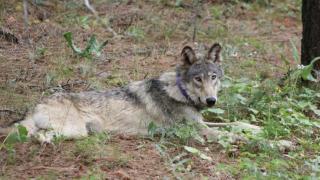 Oregon Wolf near Yosemite