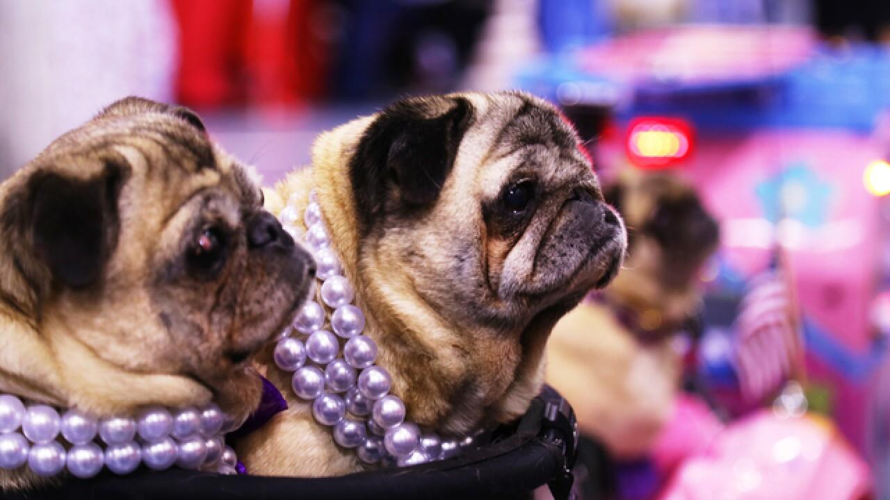 Milwaukee Pug Fest returns this weekend