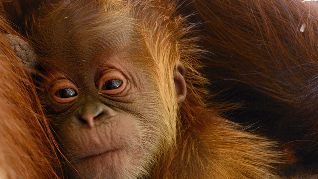 PHOTOS: Zoo welcomes adorable orangutan baby