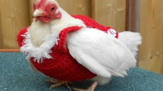 Buy Cozy, Festive Christmas Sweaters For Chickens