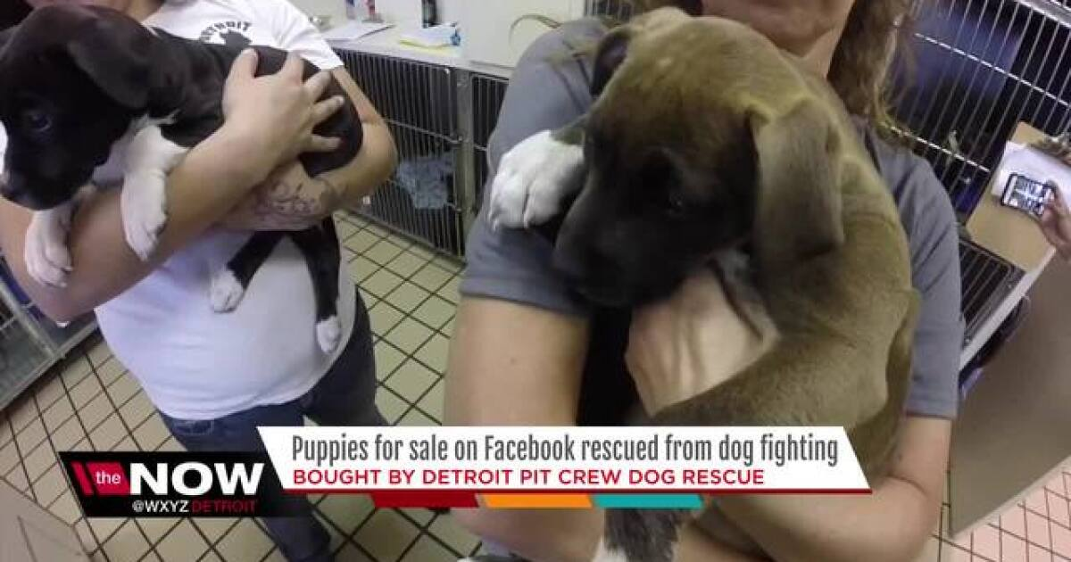 Puppies For Sale On Facebook Rescued From Dog Fighting By Detroit