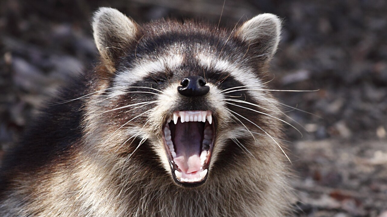 Poquoson raccoon tests positive for rabies