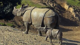 Eight Week Old Rhino Debuted At Zoo