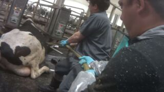 Video shows abuse of milk cows at second Fair Oaks farm in Indiana,  animal welfare group says
