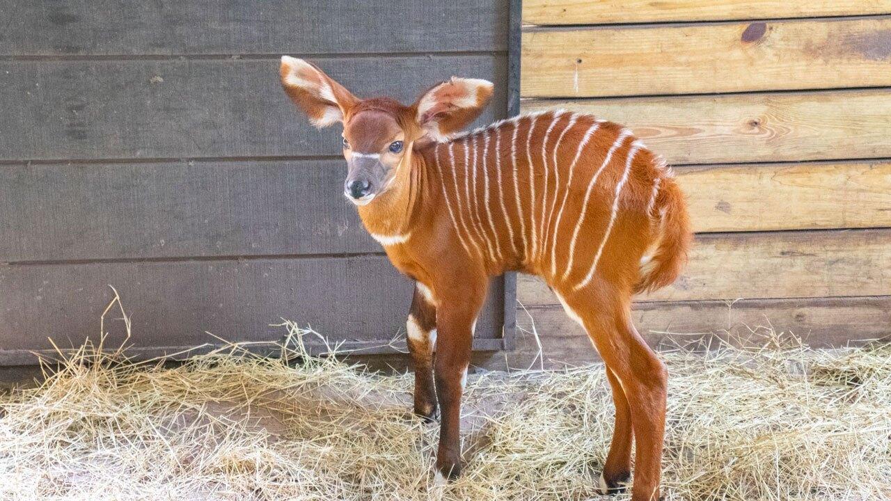 endangered-Eastern-Bongo-antelope-ZooTampa-2.jpg