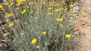 Baileya-desert-marigold.jpg