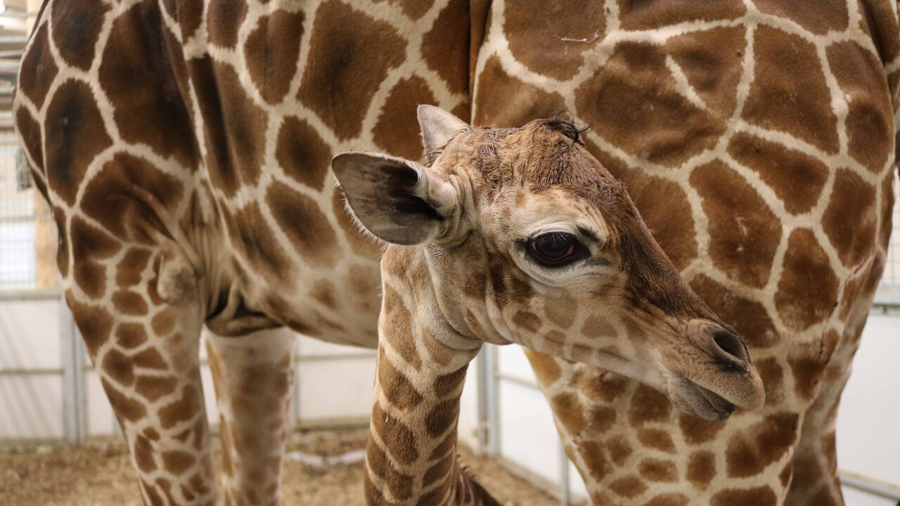 Female giraffe calf born 4-16-19 (3).jpg