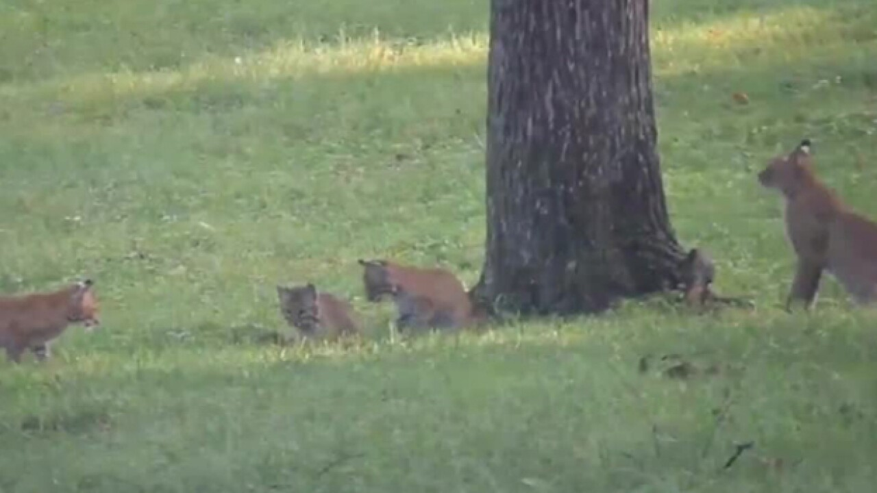 Bobcats Spotted In Green Hills And West Meade
